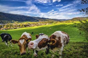 Septembre-Vaches-profitant-de-la-vue-au-dessus-de-Fleurier